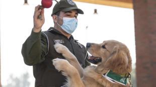 كلب بوليسي يدعى كليفورد  يُدرّب على الكشف عن المصابين بكوفيد- 19، تشيلي، سانتياغو (14 يوليو 2020)