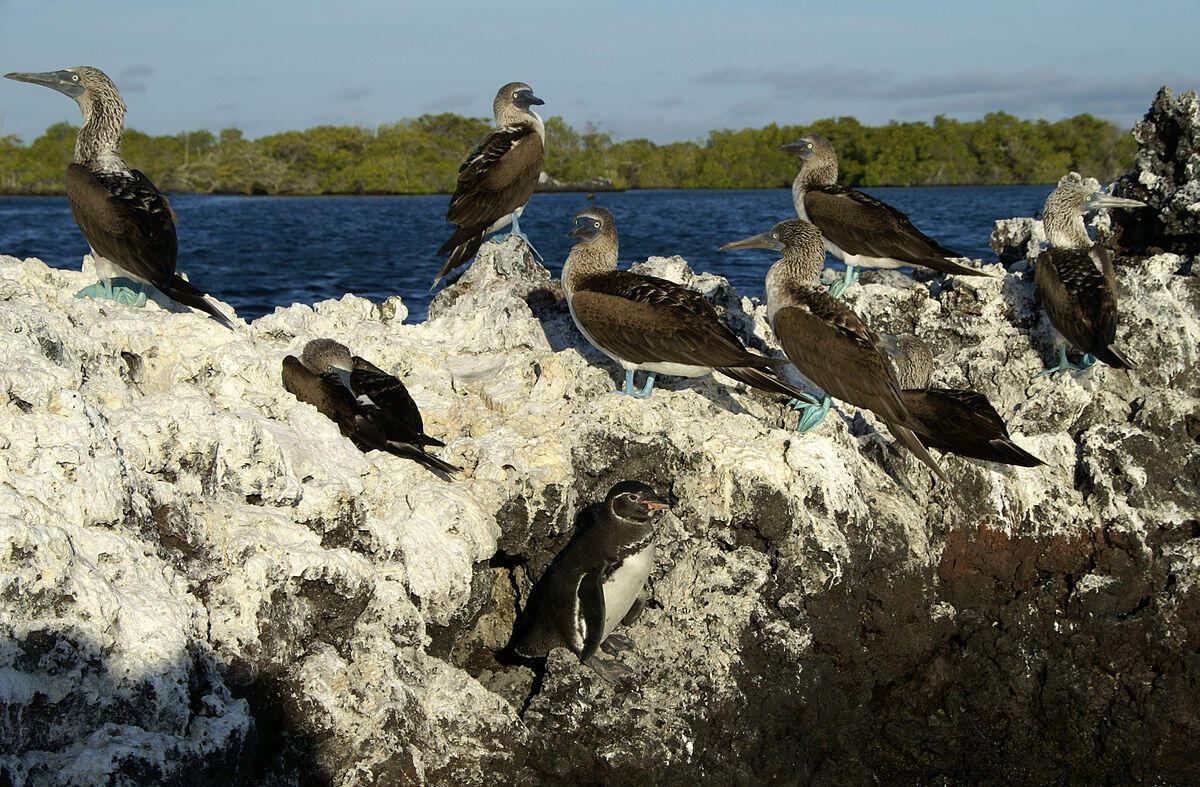 1200px-Elizabeth_Bay_-Isabela_Island_-birds