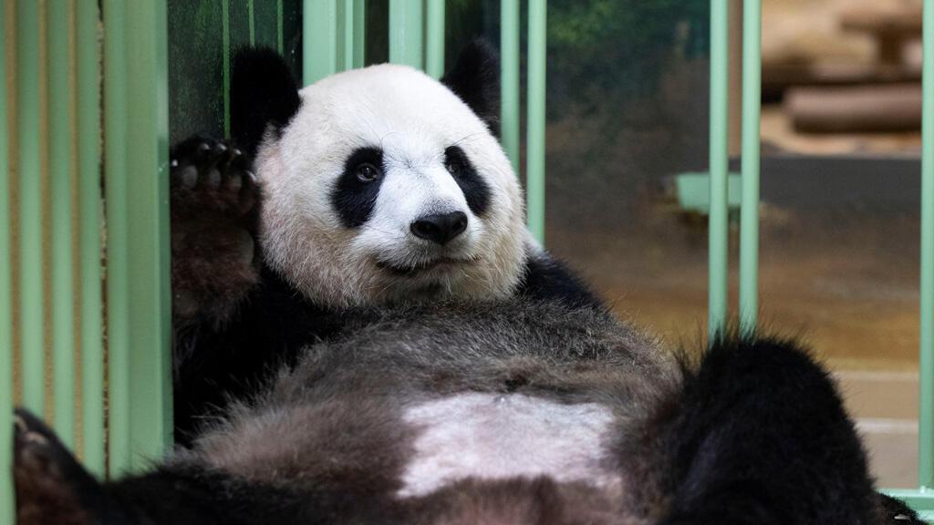 أنثى الباندا هوان هوان في فرنسا
