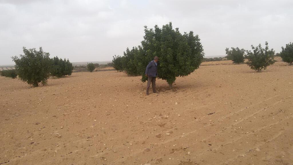 أشجار الخروب في إحدى مزارع منطقة عقارب وسط تونس