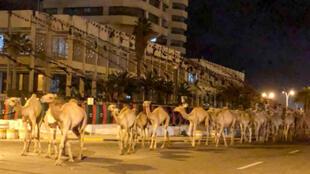 قطيع من الجمال يسير في شوارع طرابلس بليبيا مساء 19 فبراير/ شباط 2020