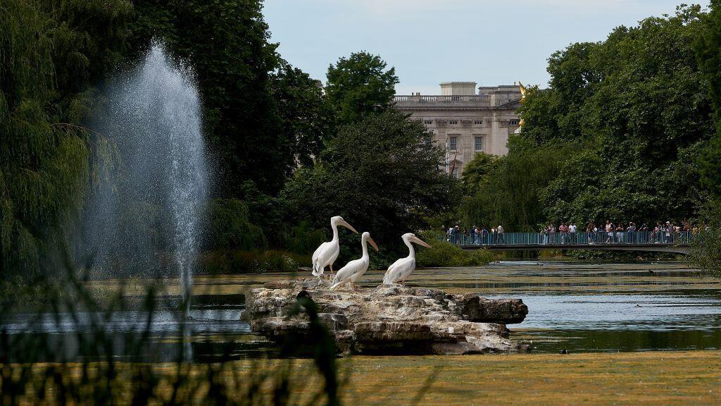 Royal pelicans