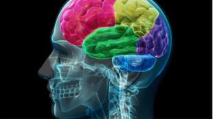 صورة توضيحية لدماغ بشري