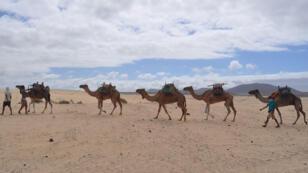 جِمال في الصحراء
