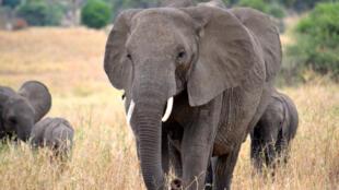 فيل إفريقي