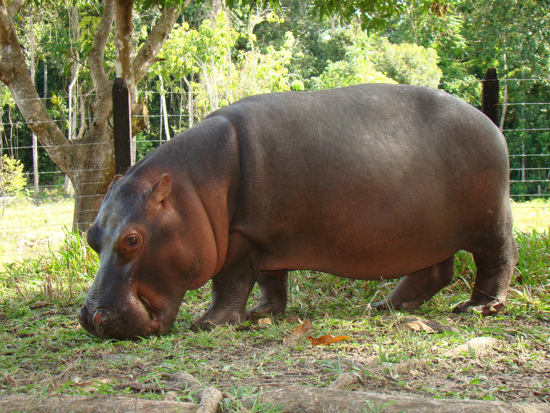 Hipopótamo_Vanessa_PTHN