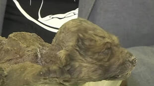 كلب عمره 18 ألف سنة في سيبيريا