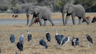 eléphant afrique