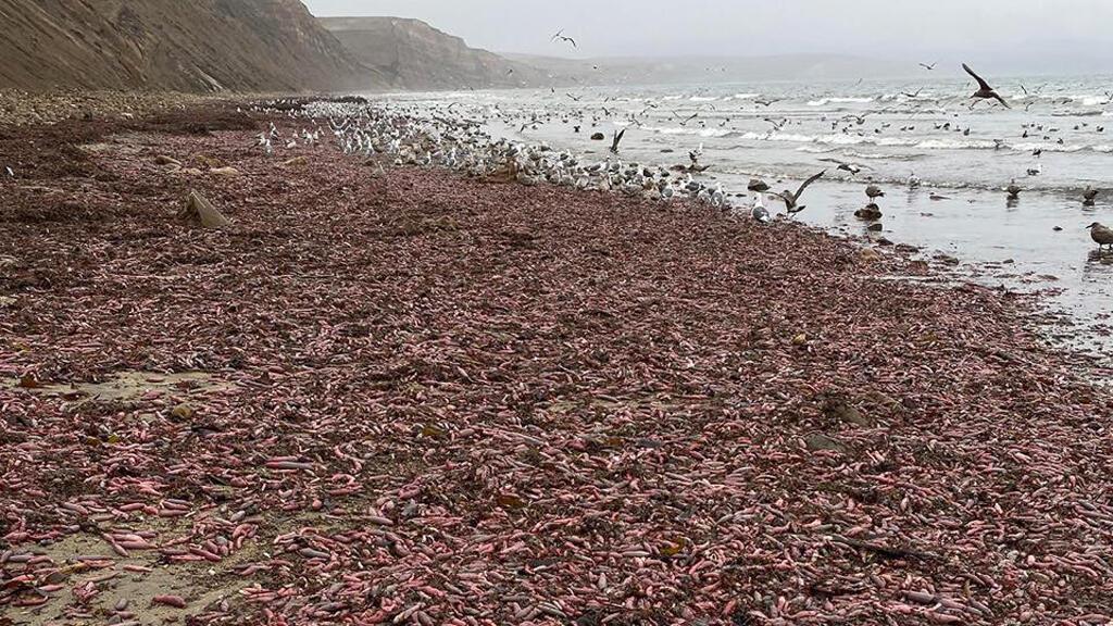 الديدان البحرية على شاطئ بكاليفورنيا