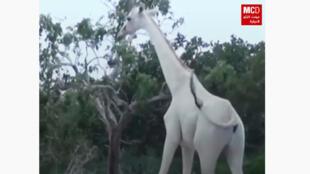 giraffe_blanche_kenya