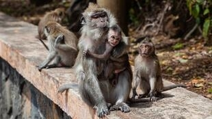 long-tailed-macaque-4501437_1920