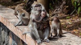 مجموعة من القردة
