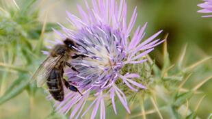 abeille_tellienne_tunisie