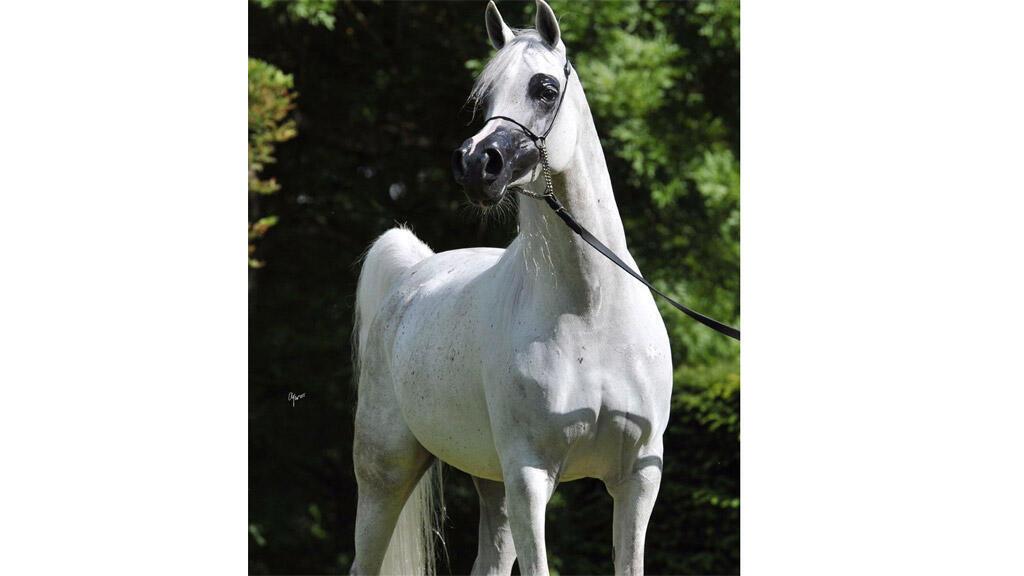 الخيالة السلطانية المشاركة في كأس العالم لجمال الخيول العربية