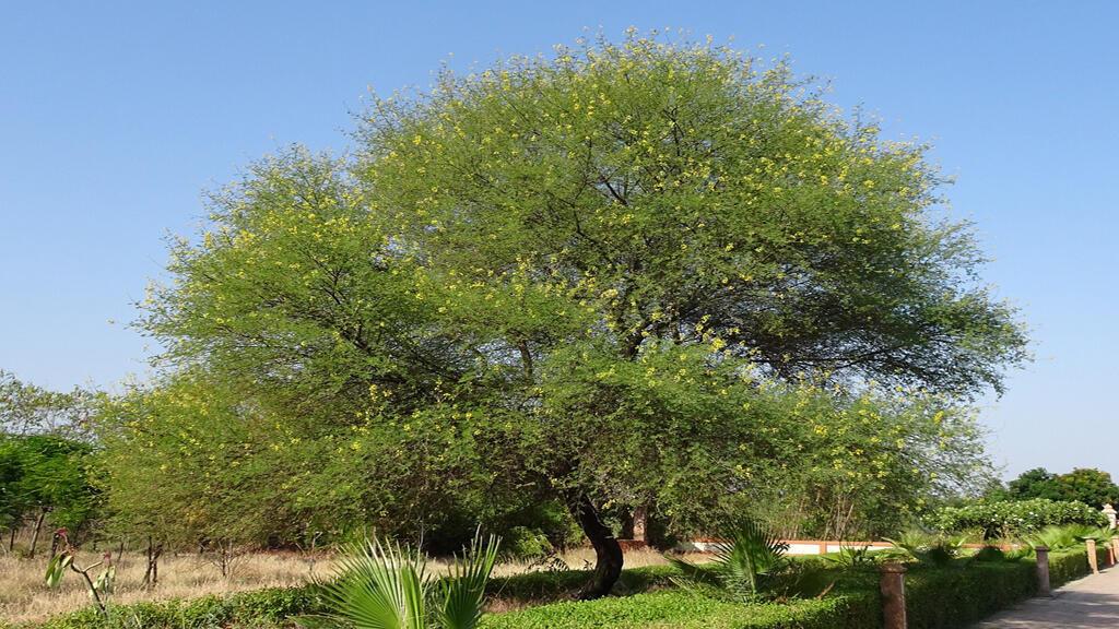 -شجرة الأكاسيا من أهم الأشجار الذكية