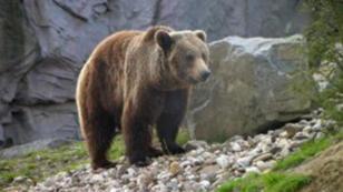 ours_-les-Pyrénées_mcd