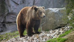 الدببـة في منطقة البـيرينيه