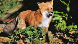 wild_fox_renard