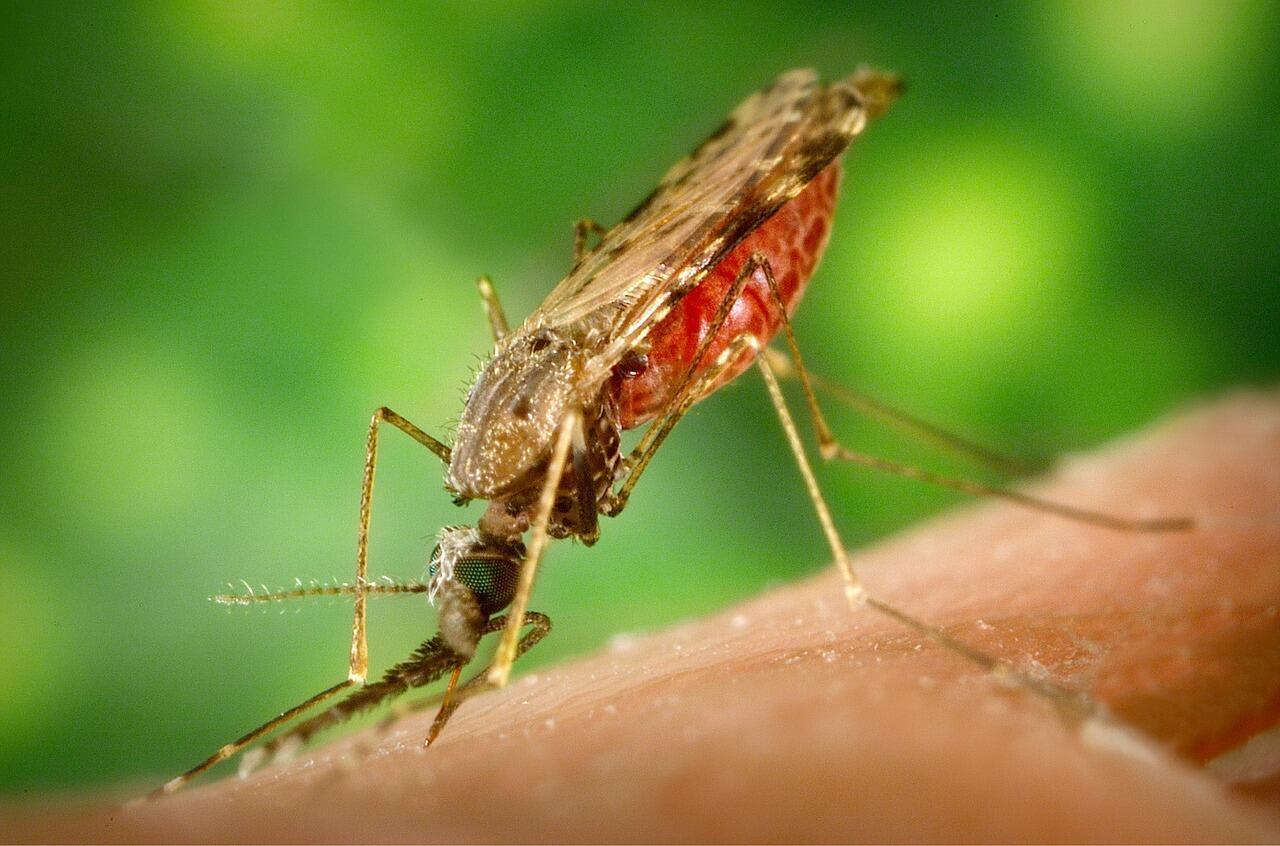 moustique_malaria_paludisme