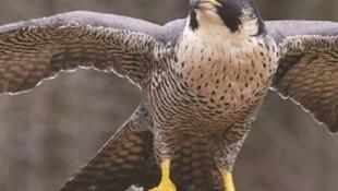 faucon shahine