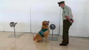 بريطانيا: باحثون يدربون الكلاب البوليسية على رصد المصابين بفيروس كورونا