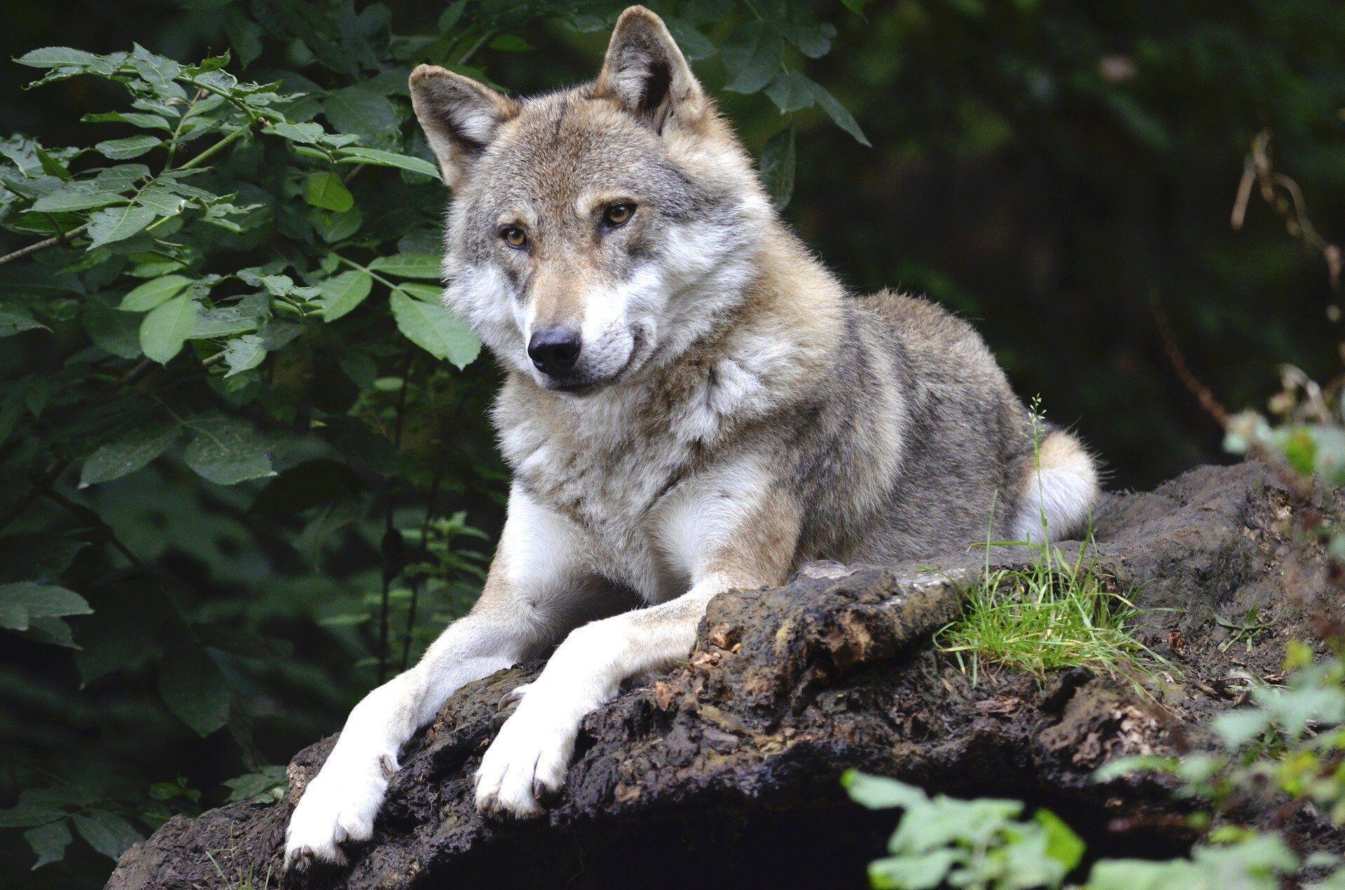 wolf_grey_coloured