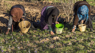 زراعة الورود في جنوب المغرب