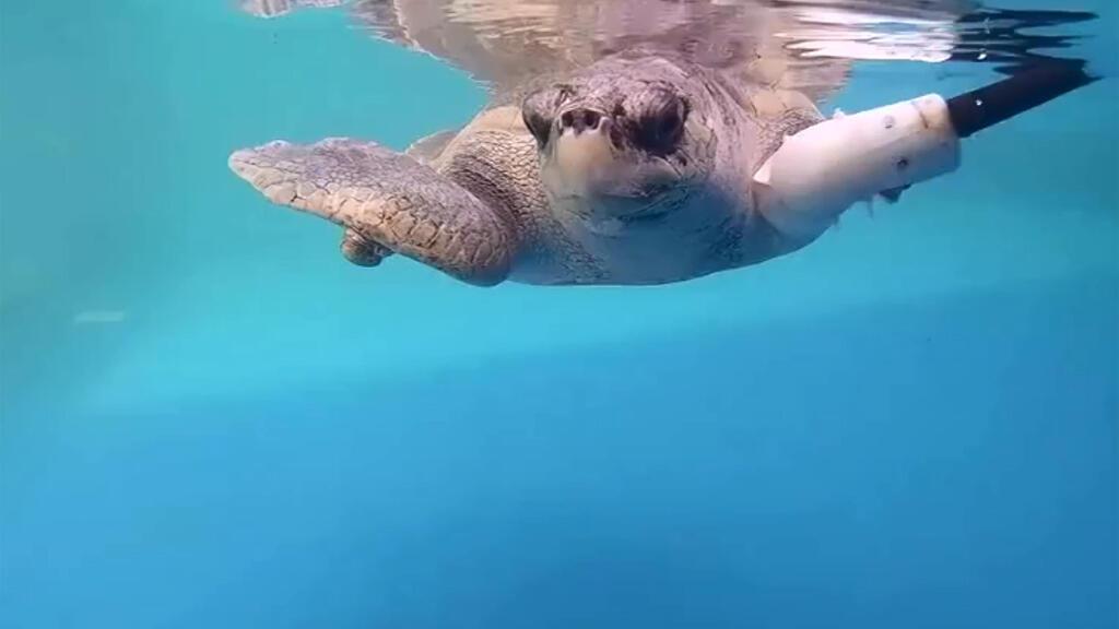السلحفاة غودي تسبح بطرف اصطناعي