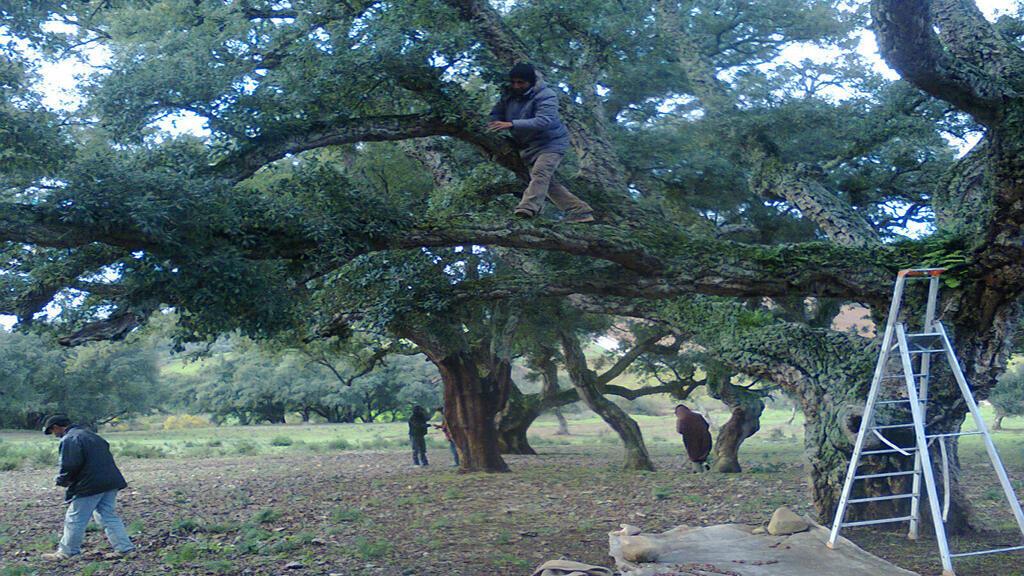 أشجارالفليين في الشمال التونسي
