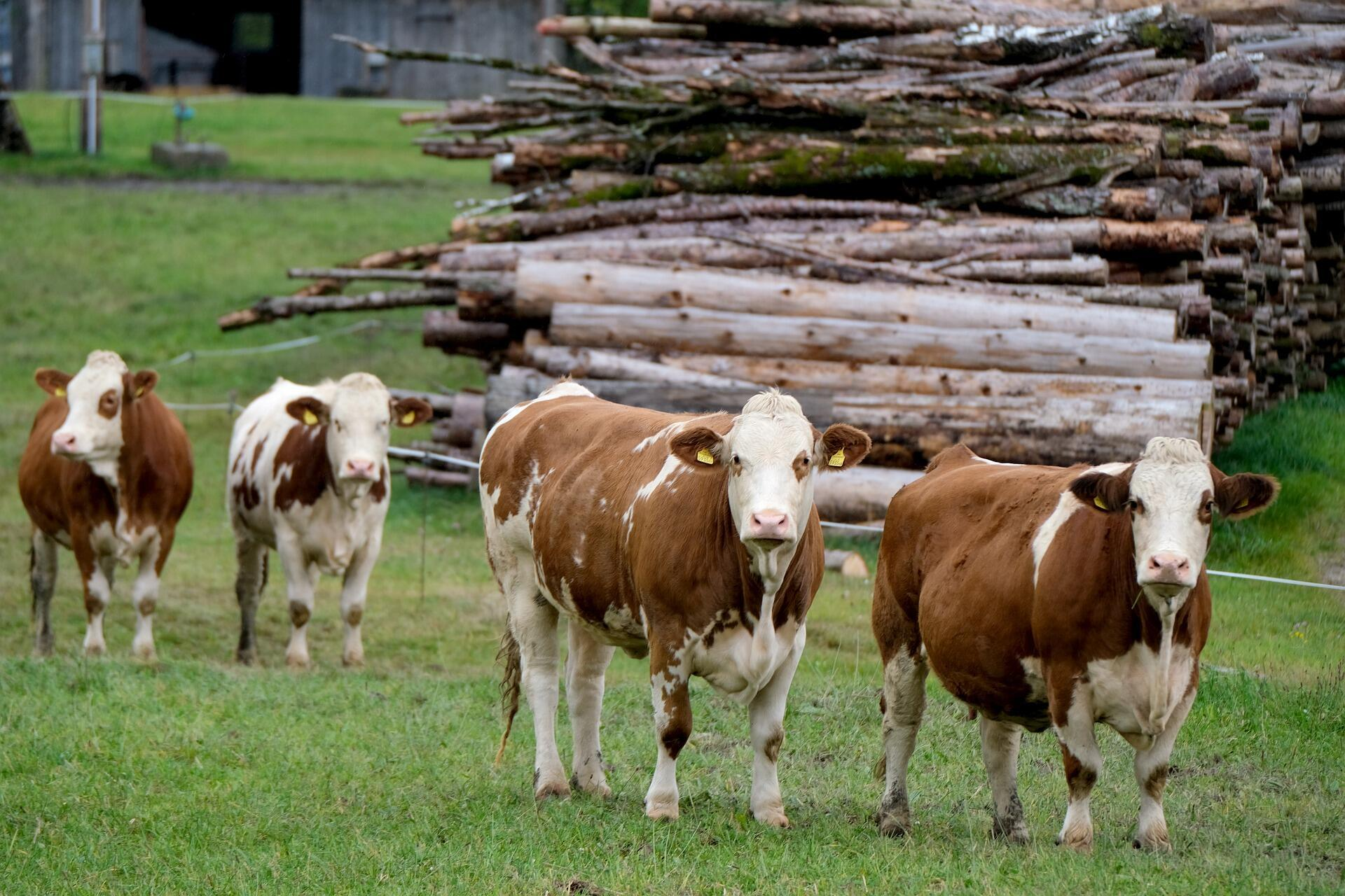 cow-5717276_1920