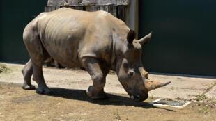 """أنثى وحيد القرن الأبيض """"إيما"""""""