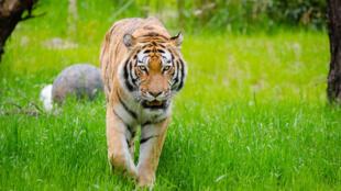 حديقة أوكلاند بدأت في تطعيم حيواناتها ضد فيروس كورونا