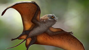 Sinomacrops
