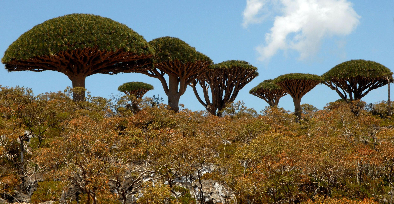 الأنواع النباتية في جزيرة سقطرى
