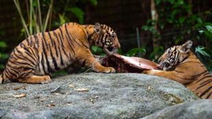 زوج من أشبال النمور الماليزية المهددة بالانقراض في سنغافورة