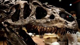 جمجمة ديناصور