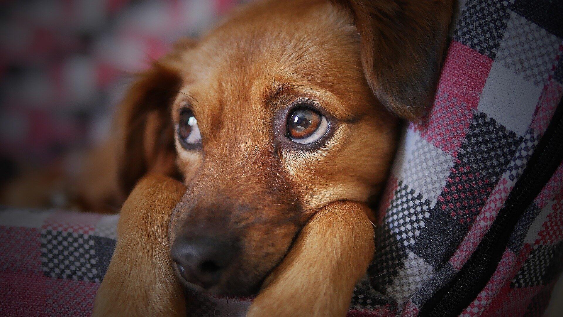 صورة رمزية لكلب حزين