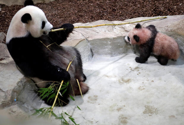 """صغير الباندا """"يوان مينغ"""" في حديقة حيوانات بوفال، فرنسا"""