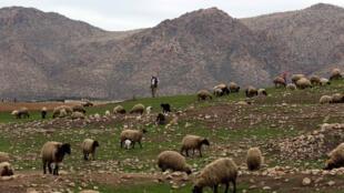 راعي أغنام من محافظة دهوك العراقية