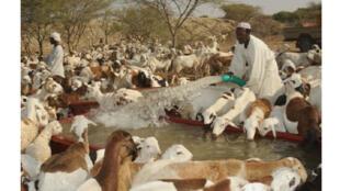 الثروة الحيوانية في السودان