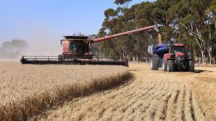 حقل من القمح يتم حصاده في مزرعة بالقرب من إنفيرلي في أستراليا