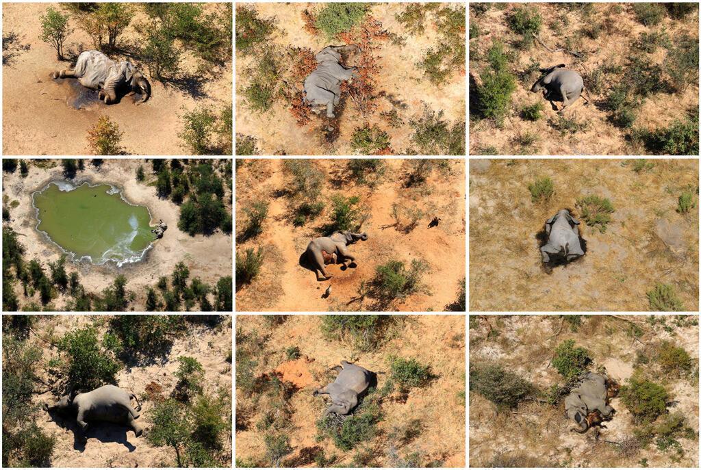 صور فيلة ميتة في دلتا أوكافانغو حصلت عليها وكالة رويترز