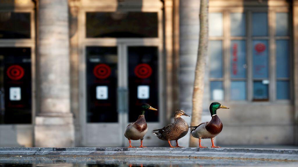 ducks_paris_lockdown_coronavirus_comedie_francaise