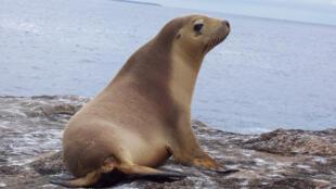 أسد البحر في تشيلي