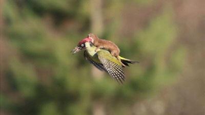 """صورة عصفور نقار الخشب يحمل على ظهره حيوان """"أبو عرس"""""""