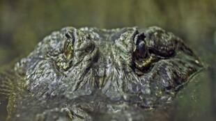 """تمساح """" زحل """" في حديقة الحيوان بموسكو عام 2009"""