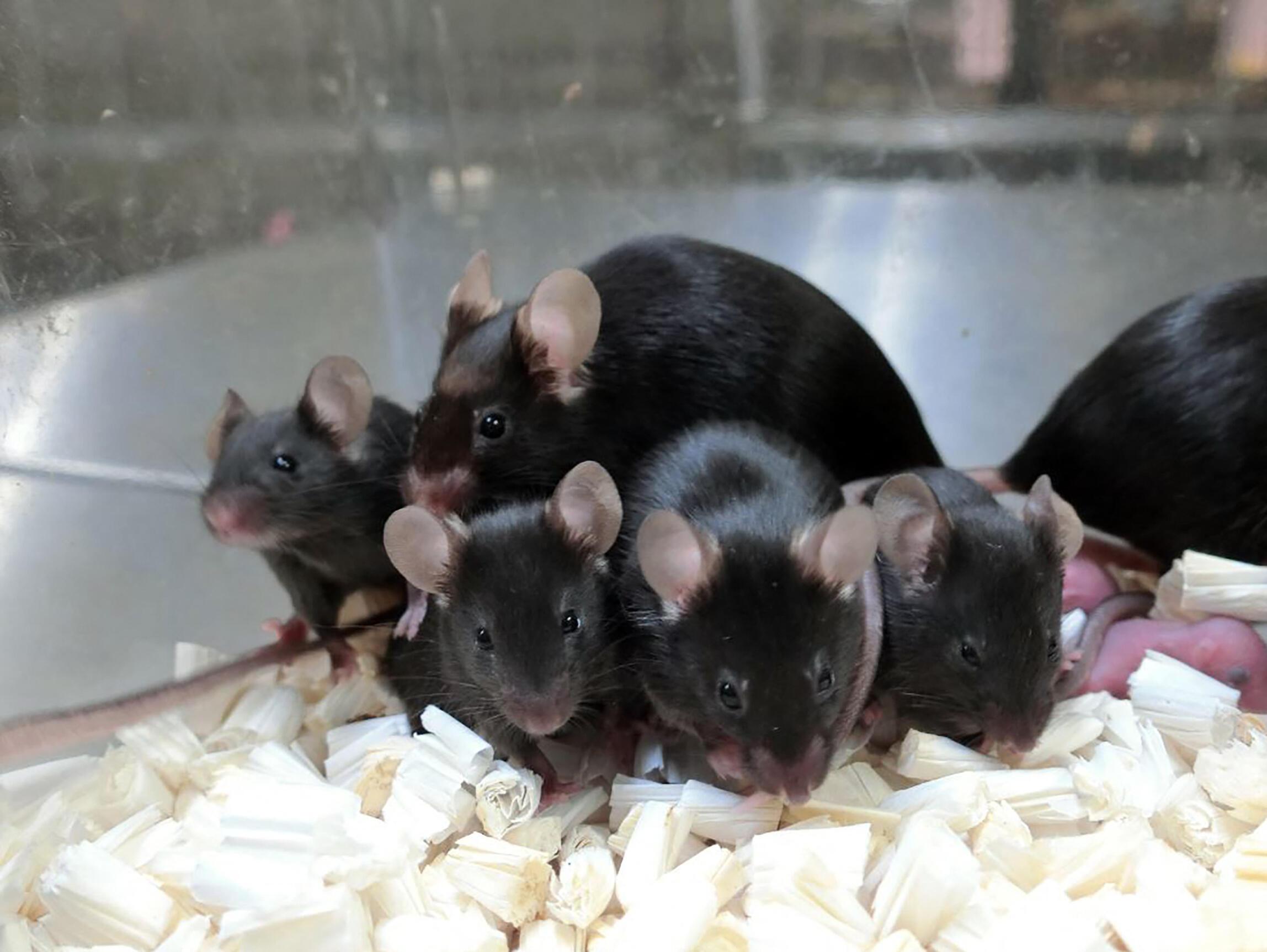 وُلد 243 فأر صغير من السائل المنوي الذي بقي ثلاث سنوات في الفضاء، و168 من ذلك الذي بقي لحوالى ست سنوات.