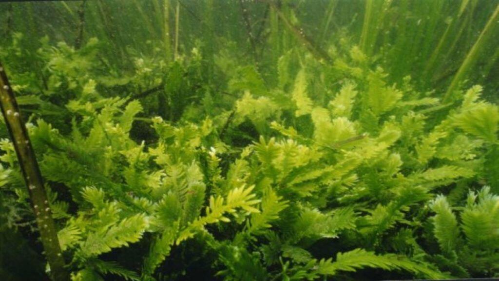 CaulerpaTaxifolia 1