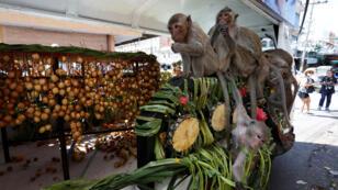 قرود تأكل الفواكه والخضار خلال مهرجان مأدبة القرود، بالقرب من معبد فرا برانغ سام يوت  شمال بانكوك