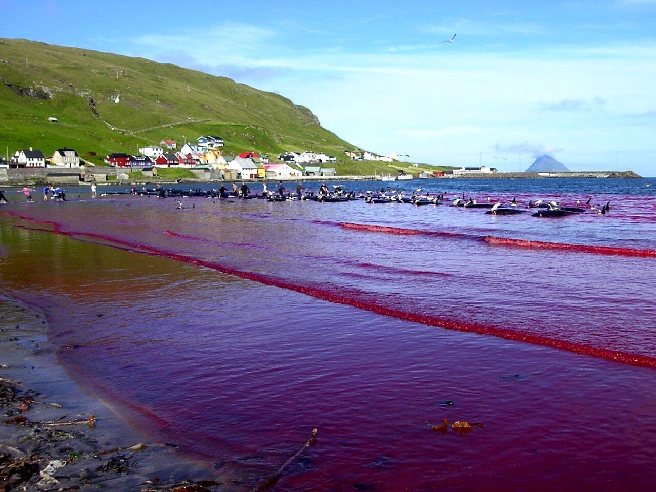تقليد صيد الدلافين والحيتان في فارو